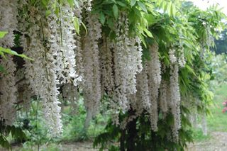 Wisteria for web