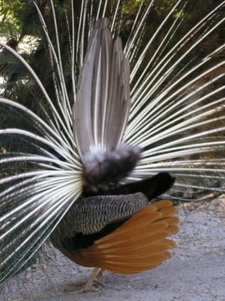 Peacockback